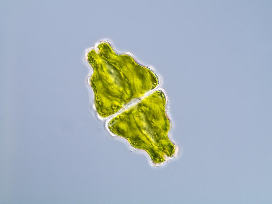 Green Alga, Light Micrograph Photograph