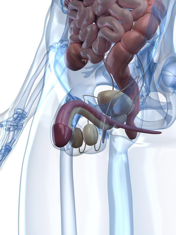 Male Reproductive System, Artwork Digital Art