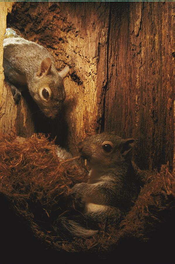 A A Baby Eastern Gray Squirrel Sciurus Photograph