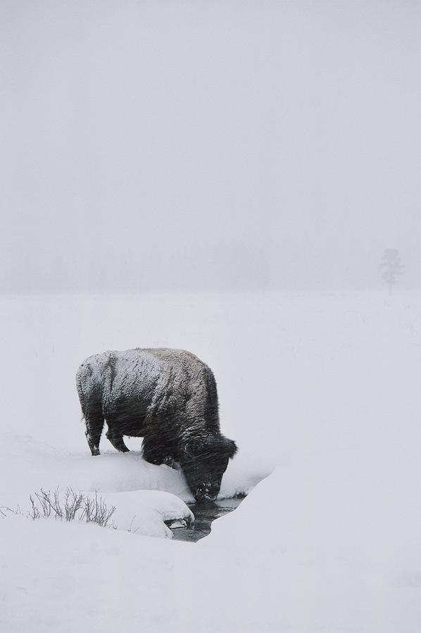 A American Bison Bison Bison Finds Photograph