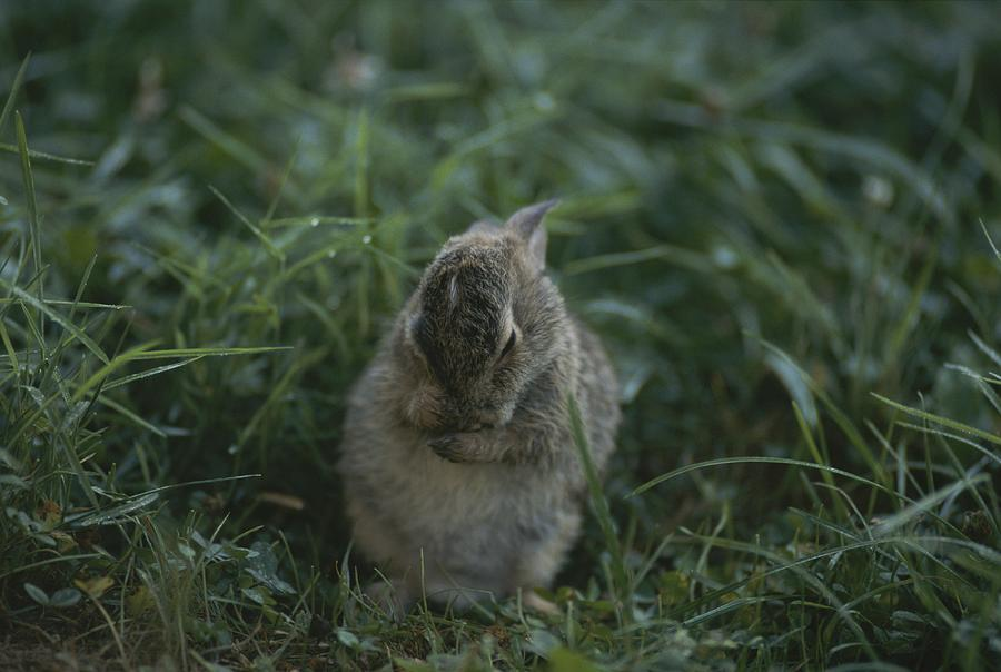 Baby cottontail rabbit - photo#26