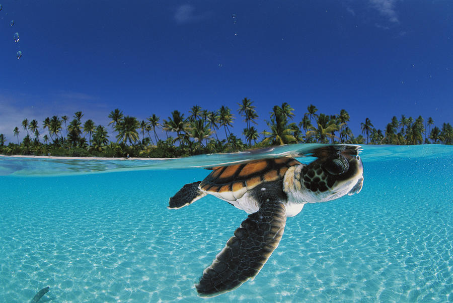 A Baby Green Sea Turtle Swimming by David Doubilet