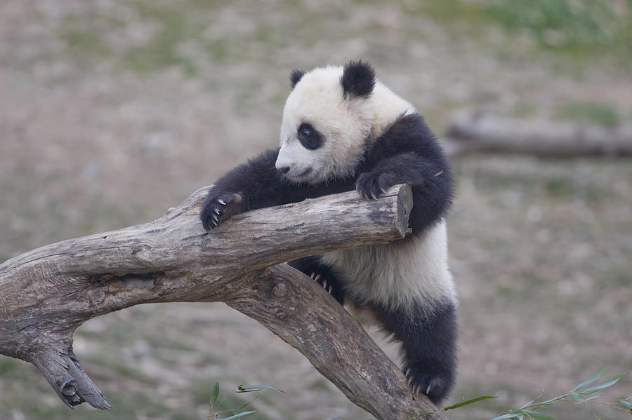 A Baby Panda Plays On A Branch Photograph  - A Baby Panda Plays On A Branch Fine Art Print