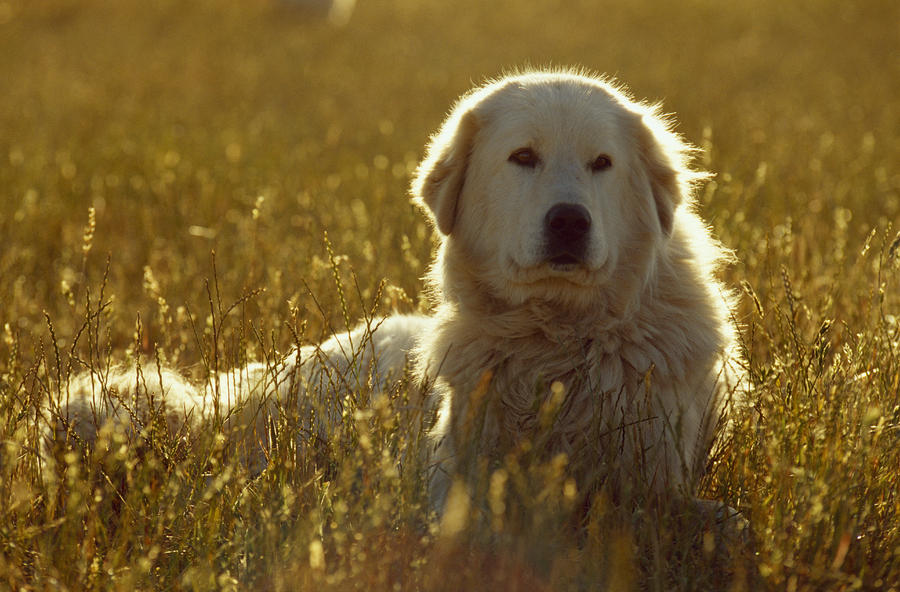 Outdoors Photograph - A Backlit Italian Sheep Dog Resting by Jason Edwards