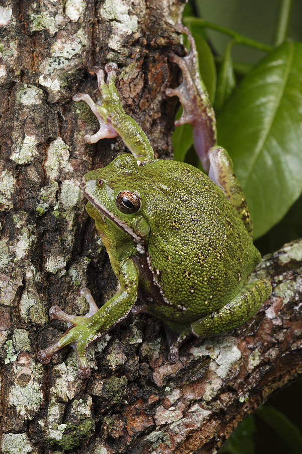 A Barking Treefrog Sits On The Crotch Photograph