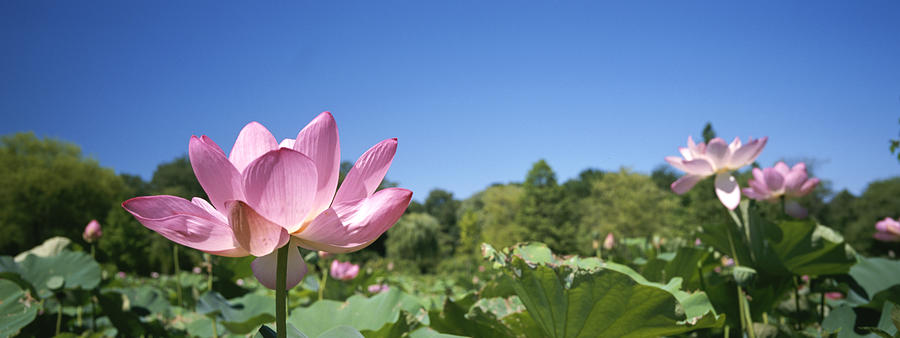 A Beautiful Emperor Lotus Blooms Photograph