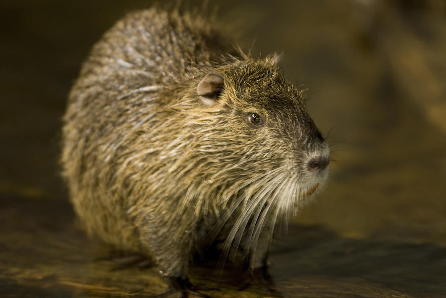 A Beaver From The Omaha Zoo Photograph