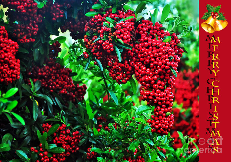 A Berry Merry Christmas Photograph