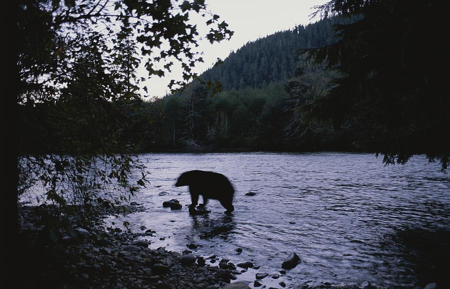 A Black Bear Searches For Sockeye Photograph