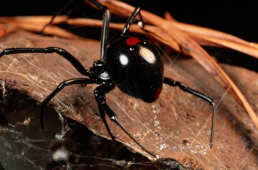 A Black Widow Spider Latrodectus Photograph