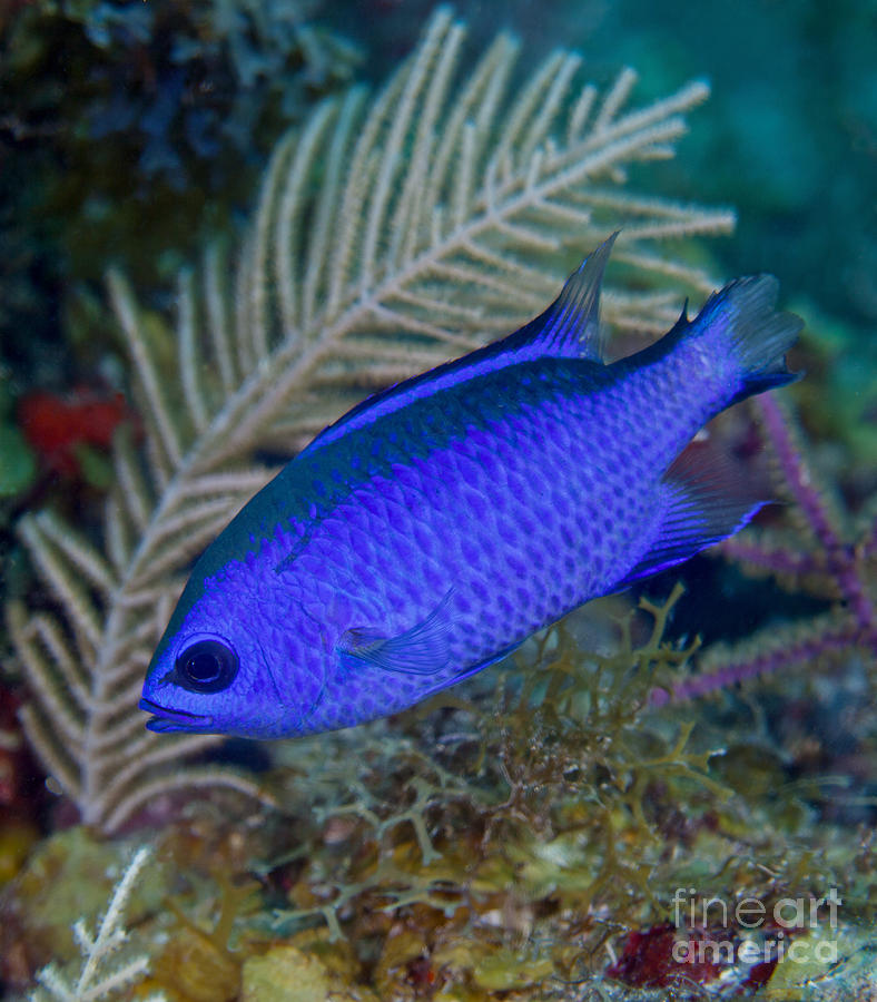A Blue Chromis Swims Into The Current Photograph  - A Blue Chromis Swims Into The Current Fine Art Print