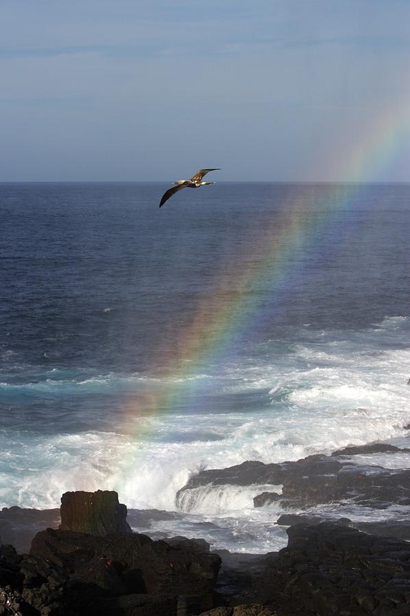 A Blue Footed Booby Soars Photograph  - A Blue Footed Booby Soars Fine Art Print