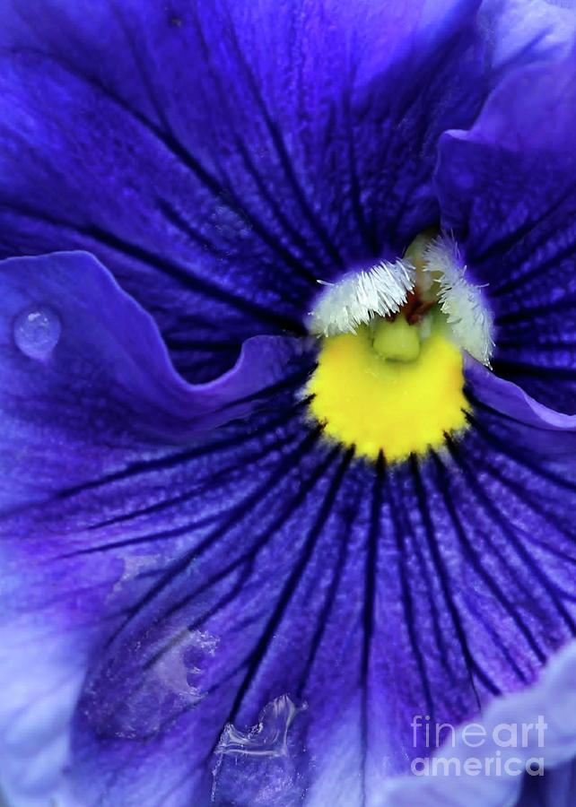 A Blue Pansy Photograph