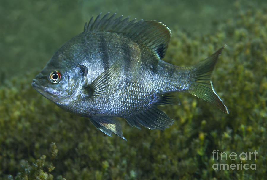 A bluegill freshwater fish in morrison photograph by for Blue gill fishing