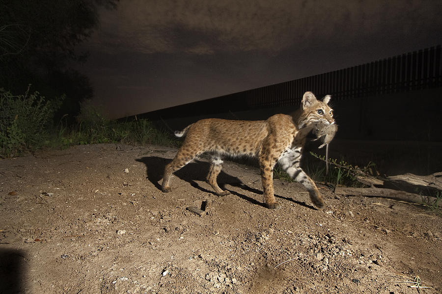 A Bobcat Crosses A Rio Grande Border Photograph  - A Bobcat Crosses A Rio Grande Border Fine Art Print