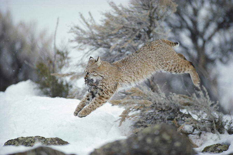 A Bobcat Leaps With A Horned Lark Photograph