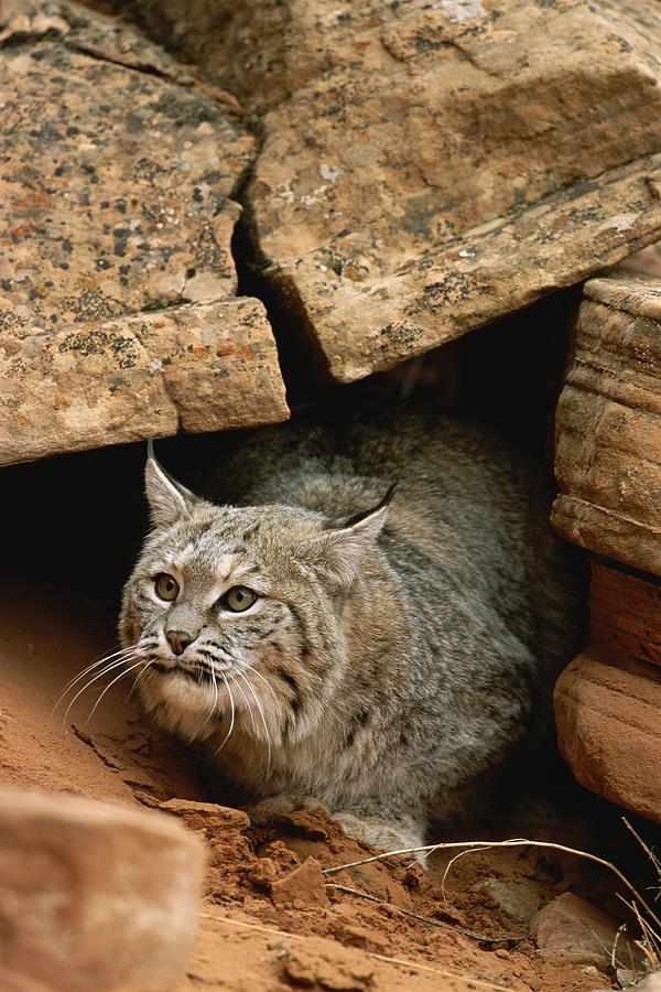 A Bobcat Pokes Out From Its Alcove Photograph