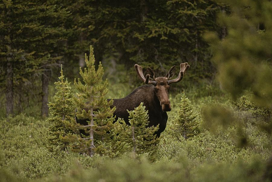 A Bull Moose Stops For A Photograph Photograph