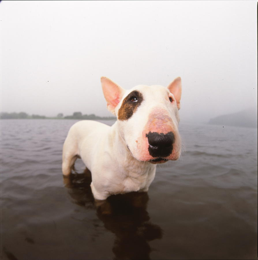 A Bull Terrier In Water Photograph