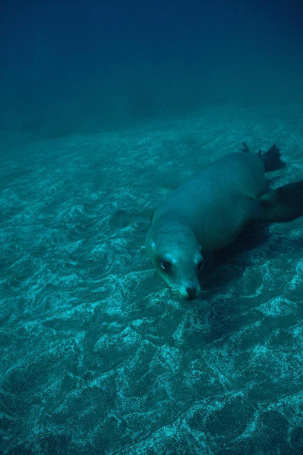 A California Sea Lion Swims Close Photograph