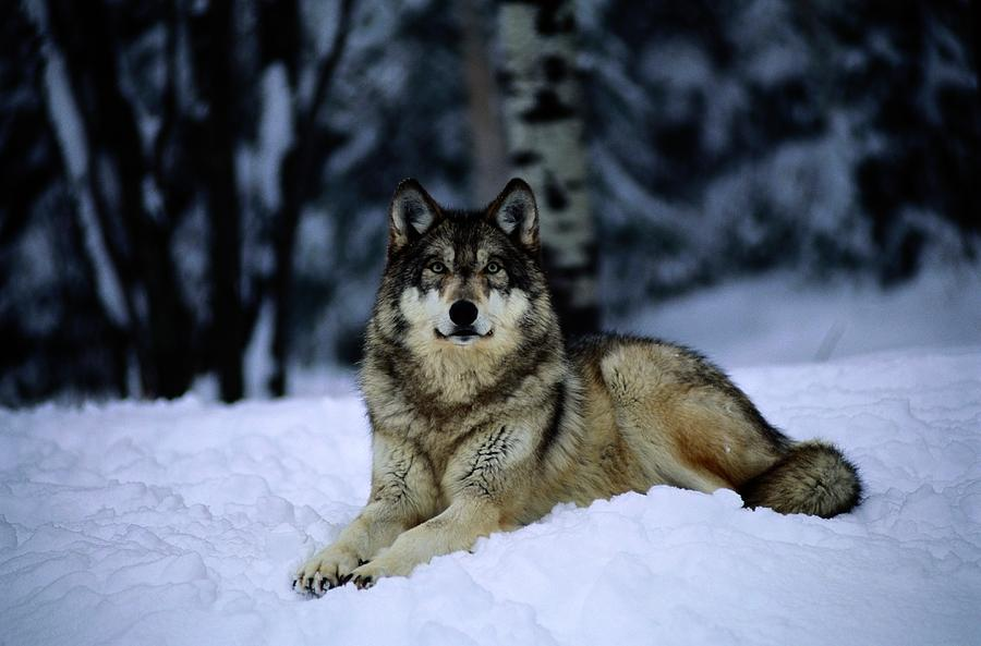 Captive grey wolf canis lupus photograph