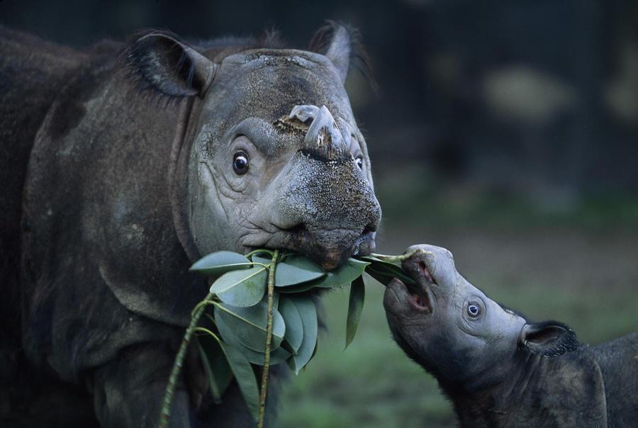 A Captive Sumatran Rhinoceros Photograph