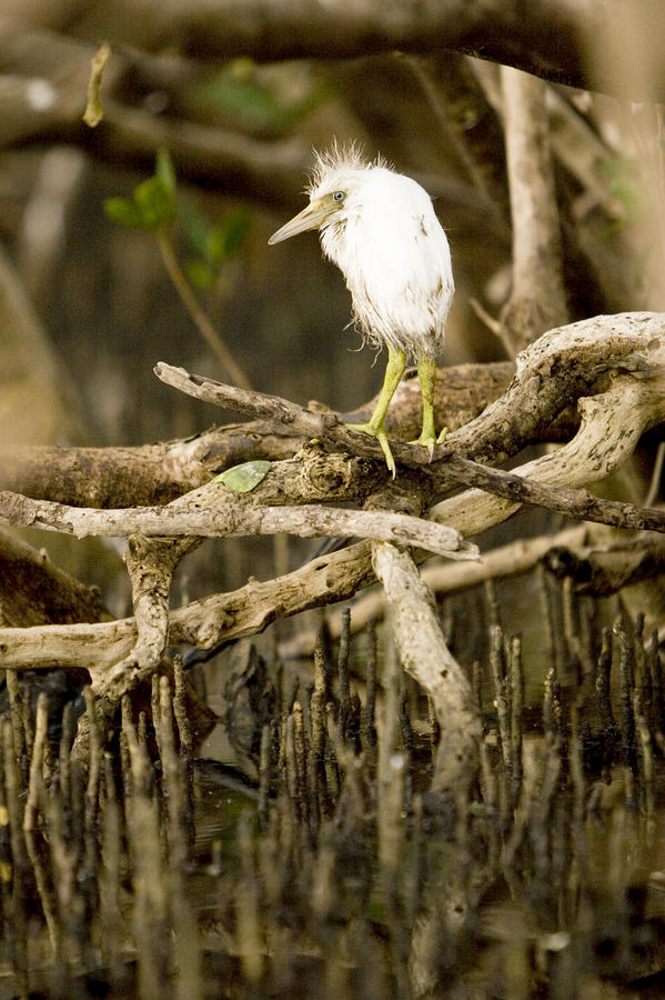 A Cattle Egret Chick Bubulcus Ibis Photograph
