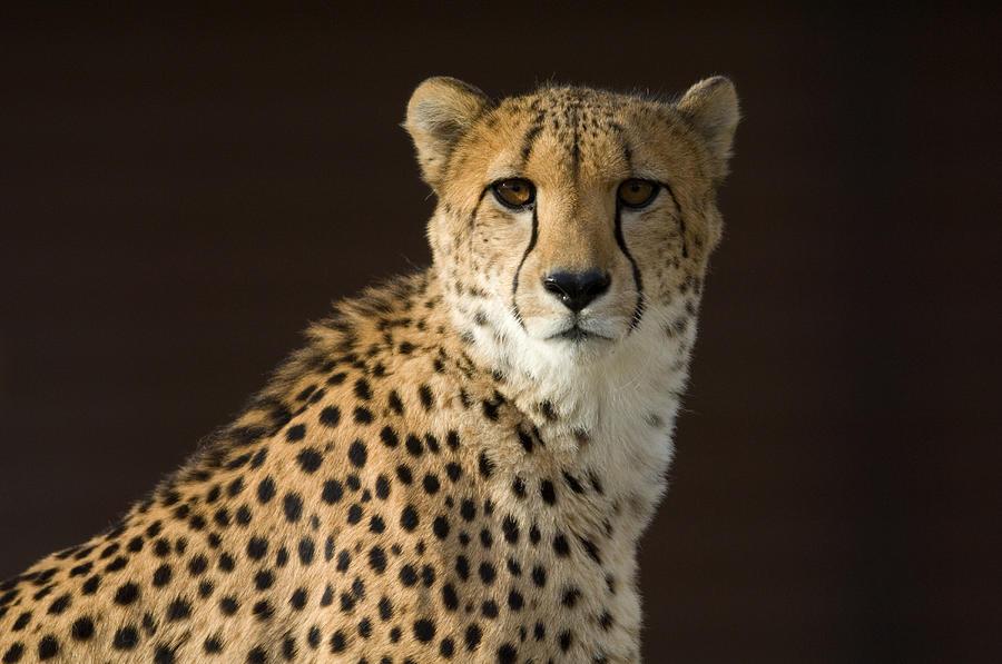A Cheetah Acinonyx Jubatus Urinates Photograph