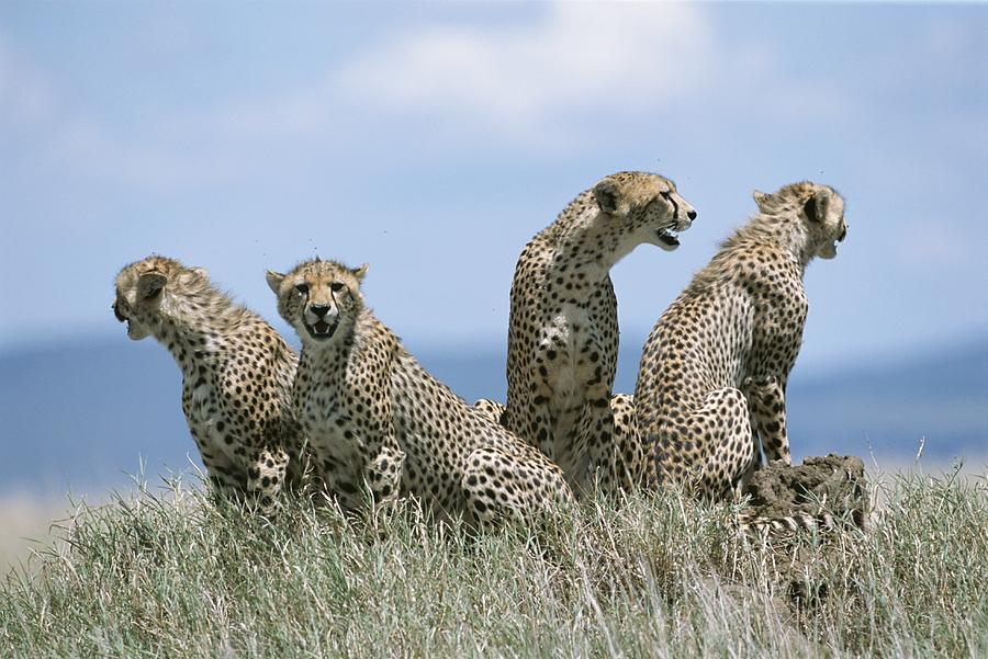 A Cheetah Family Photograph  - A Cheetah Family Fine Art Print