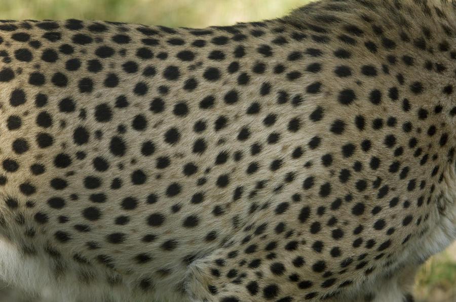 Cheetah Fur Close Up A Close-up Of A...