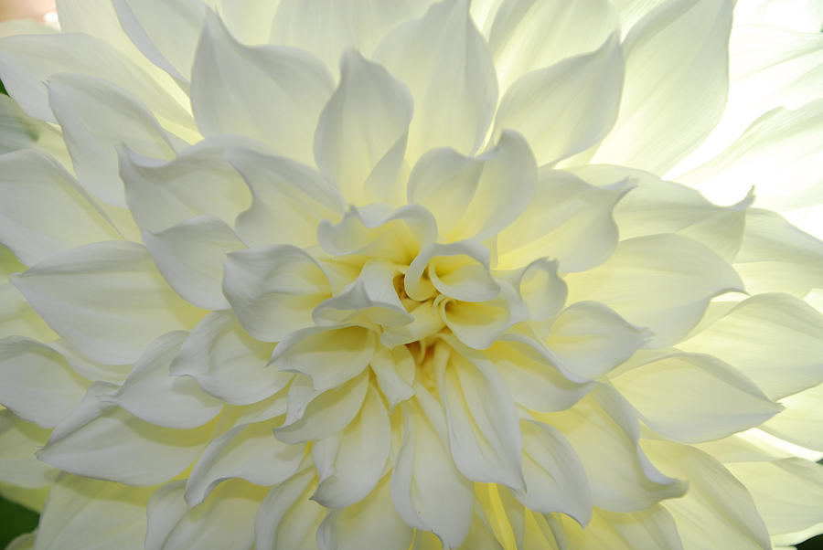 A Close Up Of A White Dahlia Flower Photograph  - A Close Up Of A White Dahlia Flower Fine Art Print