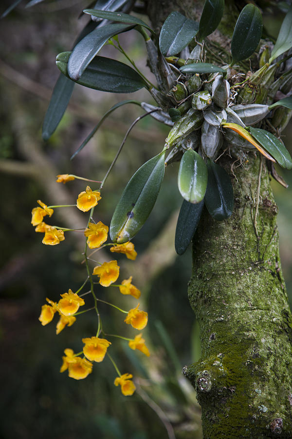 A Close View Of A Beautiful Dendrobium Photograph