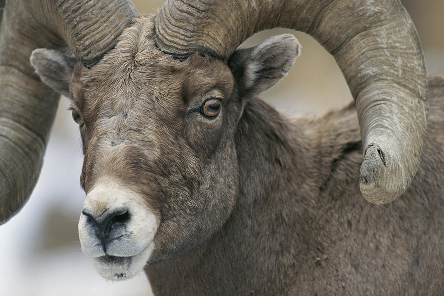 A Close View Of A Male Bighorn Sheep Photograph