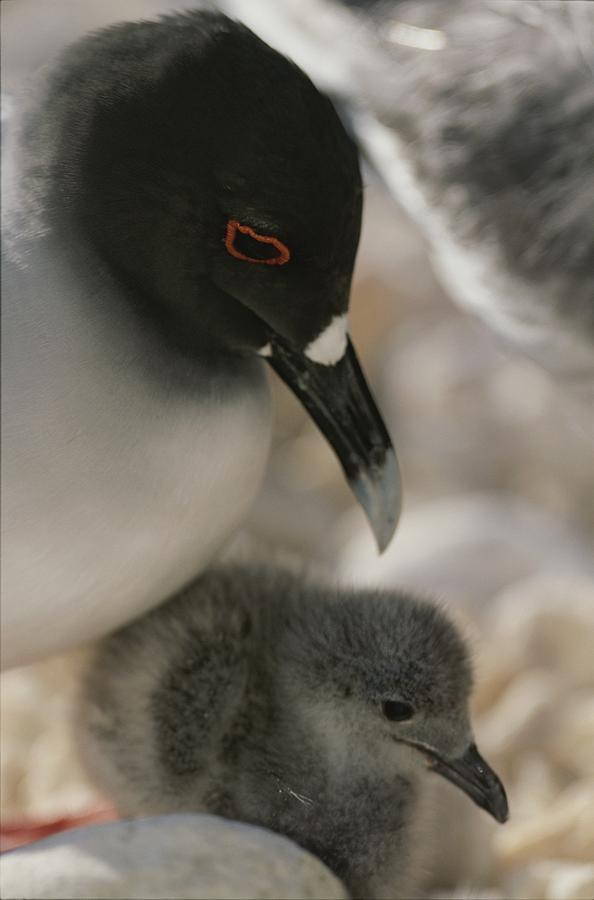 A Close View Of A Swallow Tailed Gull Photograph