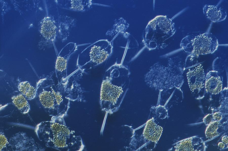 A Close View Of Marine Phytoplankton Photograph