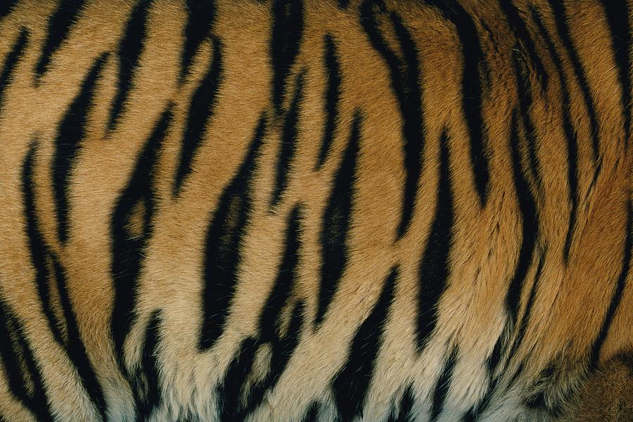 A Close View Of The Patterned Skin Of A Captive Bengal Tiger Photograph - A Close View Of The Patterned Skin by Michael Nichols