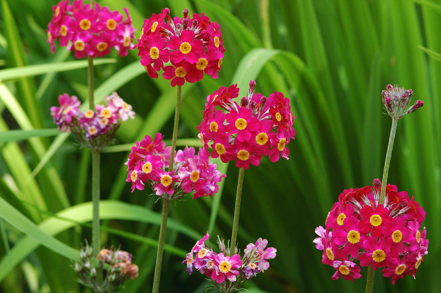 A Cluster Of Candelabra Primula Flower Photograph