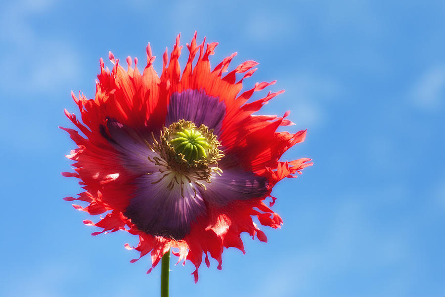 A Colorful Flower With Red And Purple Photograph