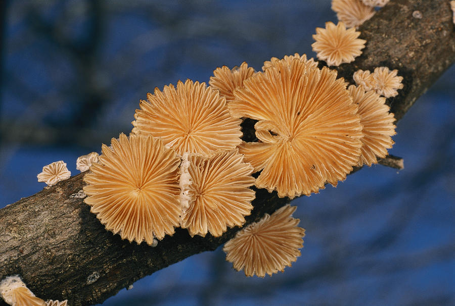 A Common Split Gill Mushrooms Sit Photograph