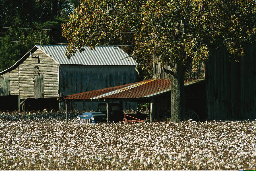 A Cotton Field Surrounds A Small Farm Photograph