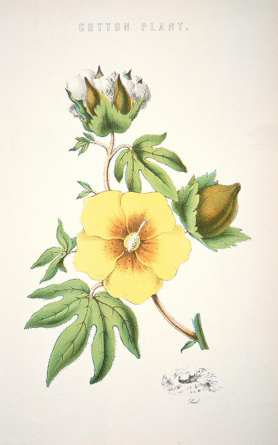 Flower; Agriculture; Agricultural; Crop; Gopypium Arboreum; Branch; Leaf; Bud; Textile; Deep South; Cotton Is King Painting - A Cotton Plant by American School