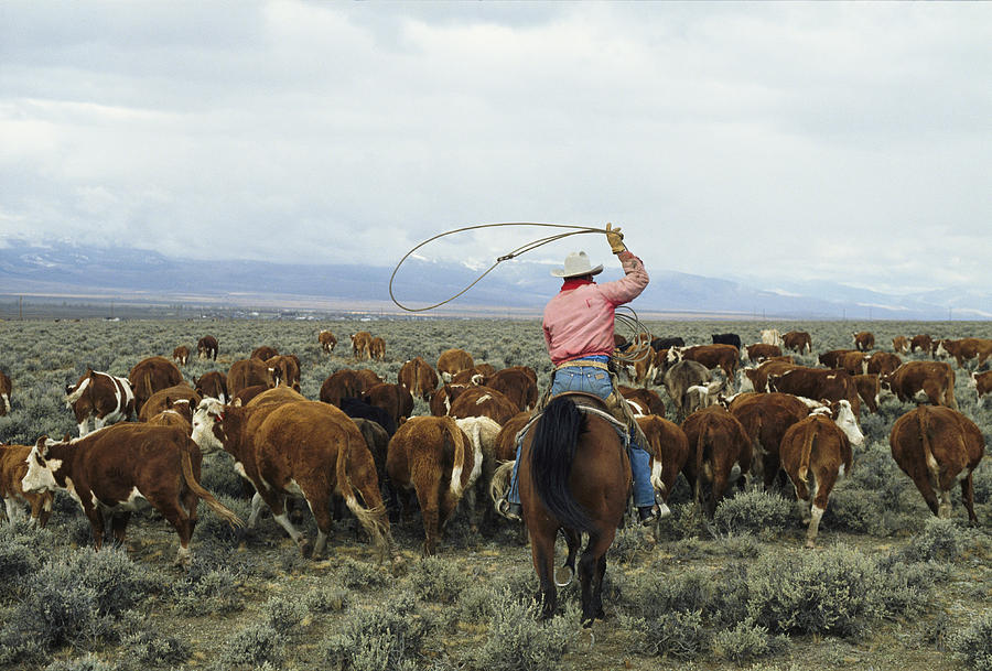 A Cowboy Herds Cattle On An Idaho Ranch Photograph  - A Cowboy Herds Cattle On An Idaho Ranch Fine Art Print
