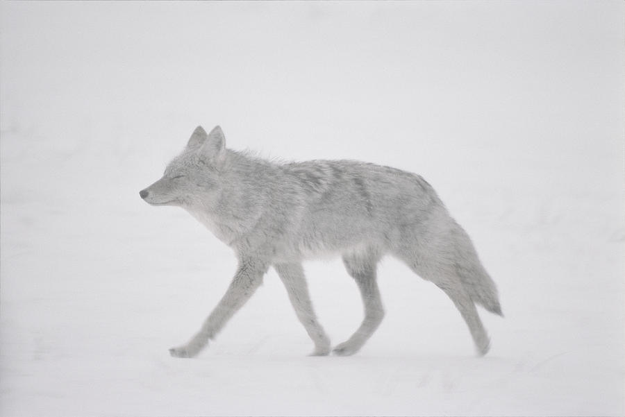 A Coyote Canis Latrans Moves Photograph  - A Coyote Canis Latrans Moves Fine Art Print