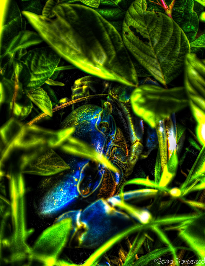A Crab In The Bush... Photograph