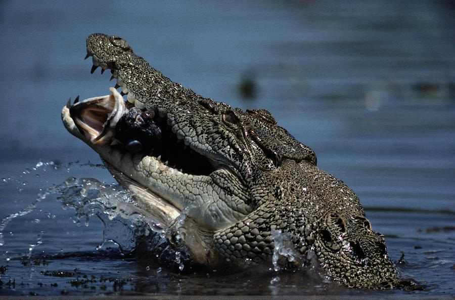 Outdoor Photograph - A Crocodile Eats A Giant Perch Fish by Belinda Wright