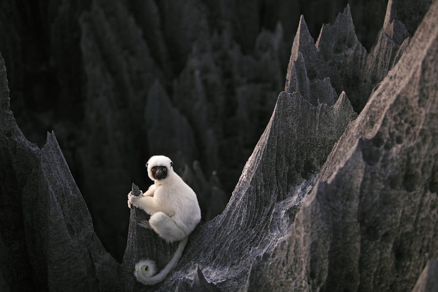 A Deckens Sifaka Lemur In The Grand Photograph  - A Deckens Sifaka Lemur In The Grand Fine Art Print