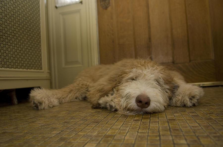 Photography Photograph - A Dog Lies On A Linoleum Floor by Joel Sartore