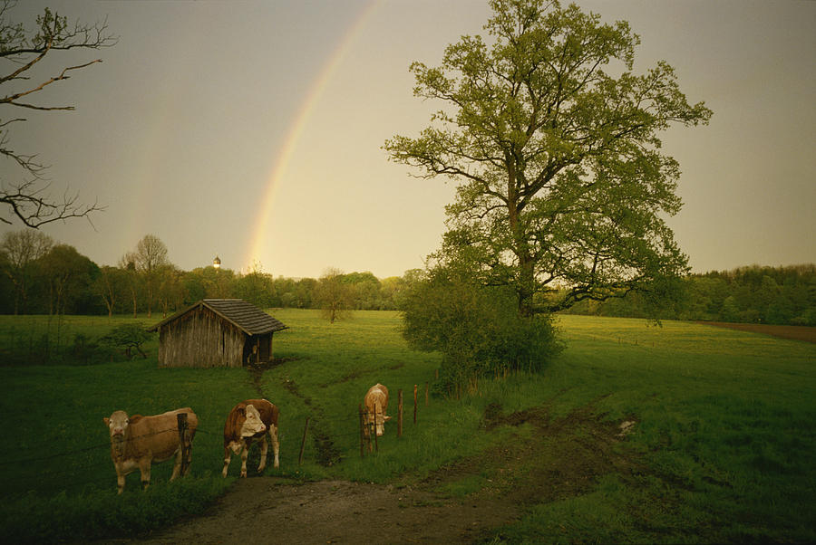 A Double Rainbow Arcs Over A Field With Cattle. Photograph - A Double Rainbow Arcs Over A Field by Carsten Peter