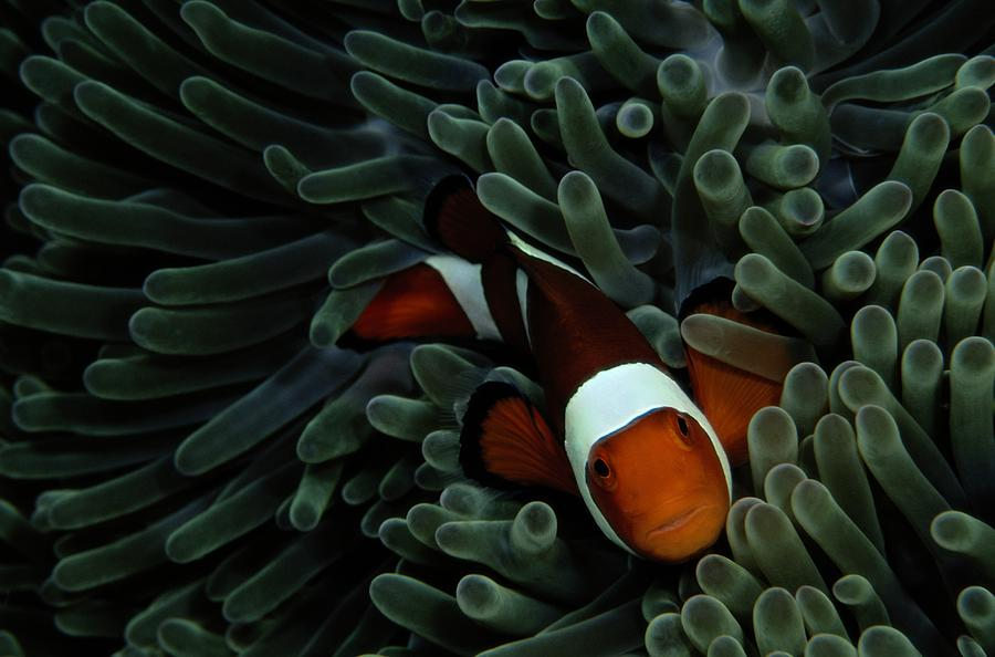 A False Clown Anemonefish Amphiprion Photograph  - A False Clown Anemonefish Amphiprion Fine Art Print