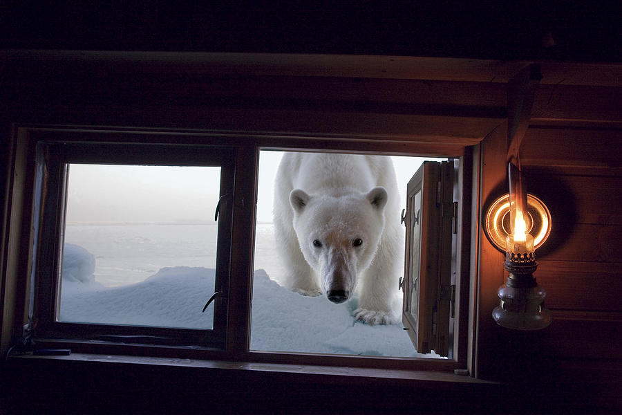 A Female Polar Bear Peering Photograph